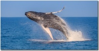 """Sunlit Breach"" Humpback whale breaching photo"